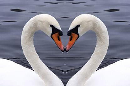 swan-heart-shape_415.jpg